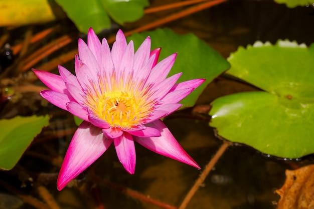 Blühende rosa seerose. lotusblumen, die blumen im sommermorgen nach regen öffnen. lotusblume und blätter im teich, im see. wasserlilie, dunkler teich