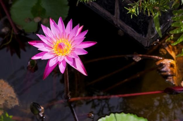 Blühende rosa seerose. lotusblumen, die blumen im sommermorgen nach regen öffnen. lotusblume und blätter im teich, see. wasserlilie