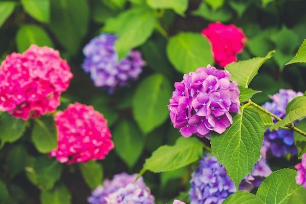 Blühende rosa und lila hortensienblüten