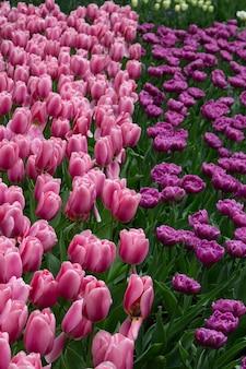 Blühende rosafarbene lila tulpen im keukenhof, dem weltgrößten blumengartenpark