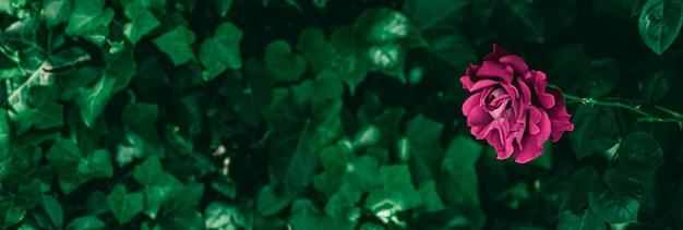Blühende rosen im schönen blumengarten als blumenhintergrund