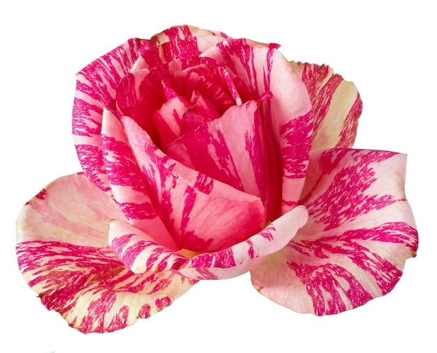 Blühende rosenblüten. mehrjährige pflanze isoliert auf weißem hintergrund. Premium Fotos