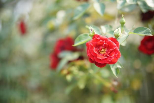 Blühende rosenblume in der blüte im gartenpark
