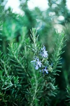 Blühende rosmarinpflanzen mit blumen auf grünem bokeh krauthintergrund. rosmarinus officinalis angustissimus benenden blaues feld.