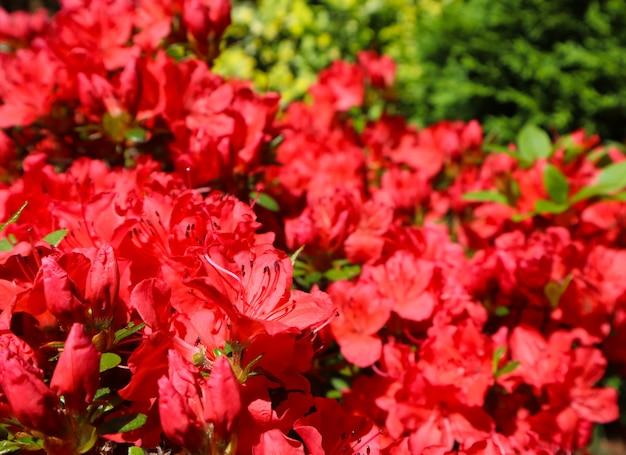 Blühende rote azaleenblumen im frühlingsgartengartenkonzeptblumenhintergrund