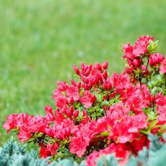 Blühende rote azaleenblumen und -knospen auf grünem hintergrund in einem frühlingsgarten