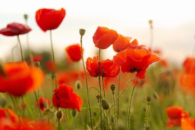 Blühende rote mohnblumen auf dem gebiet