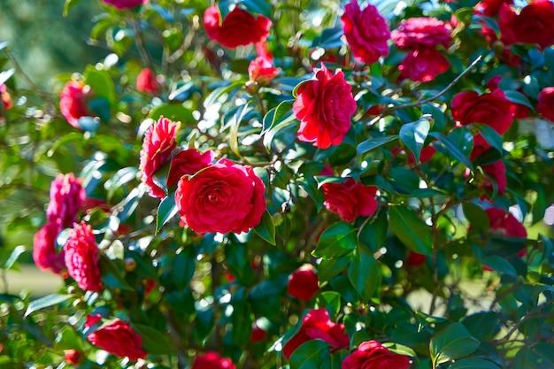 Blühende rote rosenblumen im stadtpark.
