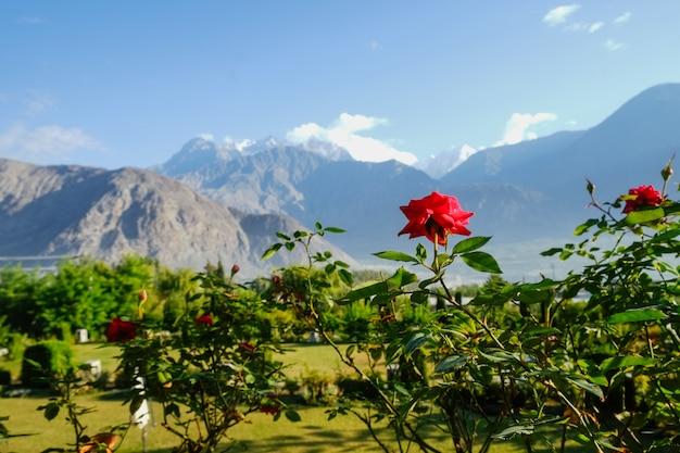 Blühende rotrose gegen landschaftsansicht des grünen laubs im sommer und im karakoram-gebirgszug