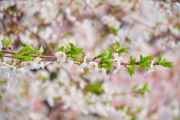 Blühende sakura-kirschblüte