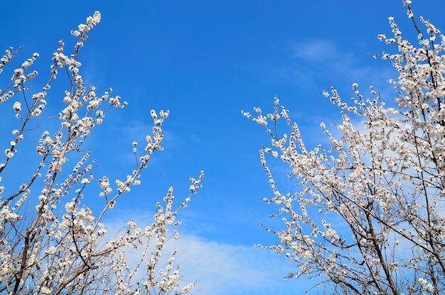 Blühende sakura- oder kirschbäume, die den schönen blauen himmel umrahmen. frühlingshintergrund.