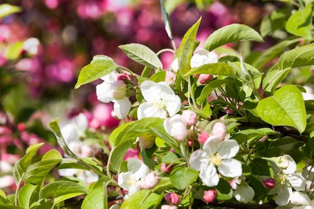 Blühende schöne echte bäume obstkirschen oder apfelbäume im frühling des jahres im obstgarten, details von pflanzen in voller blüte
