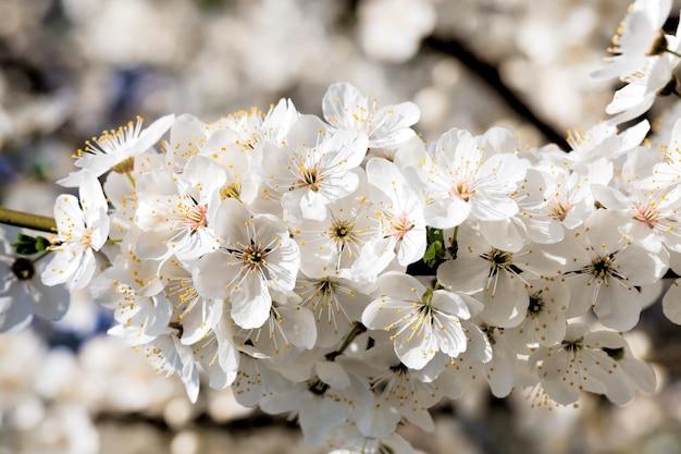 Blühende schöne echte bäume obstkirschen oder apfelbäume im frühling des jahres im obstgarten
