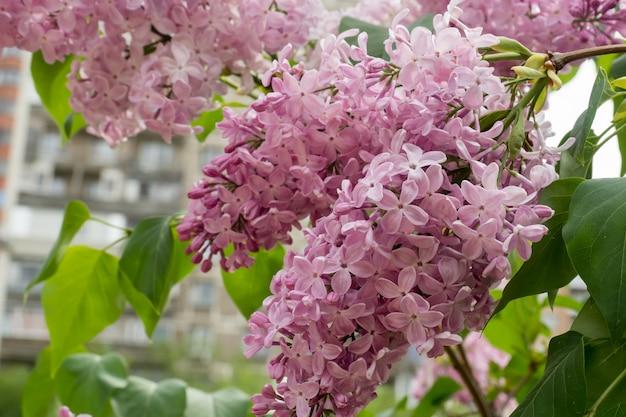 Blühende schöne lila bäume im natürlichen hintergrund des parks