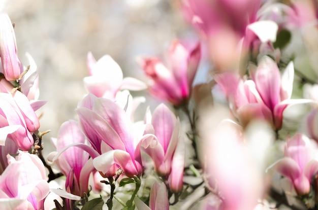 Blühende sonne der magnolienbaum im frühjahr strahlt aus. selektiver fokus