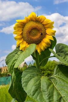 Blühende sonnenblume an einem sonnigen tag vor dem hintergrund des blauen himmels und der weißen wolken.