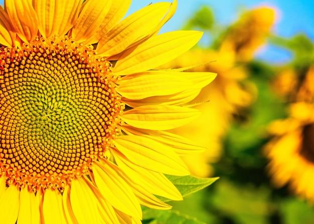 Blühende sonnenblume auf dem feld
