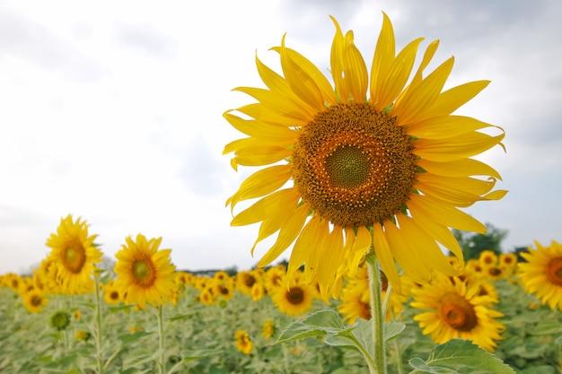 Blühende sonnenblume auf einem feld im sommer