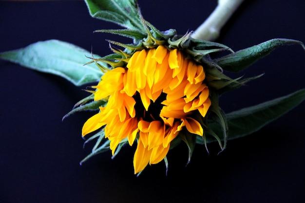 Blühende sonnenblume auf schwarzem hintergrund.