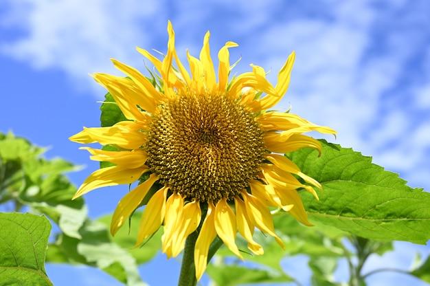 Blühende sonnenblume gegen den blauen himmel mit wolken