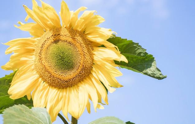 Blühende sonnenblume im bereich der sonnenblumen mit honigbiene, die nektar und pollen sammelt