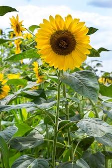 Blühende sonnenblumen an einem sonnigen tag. blauer himmel und weiße wolken.