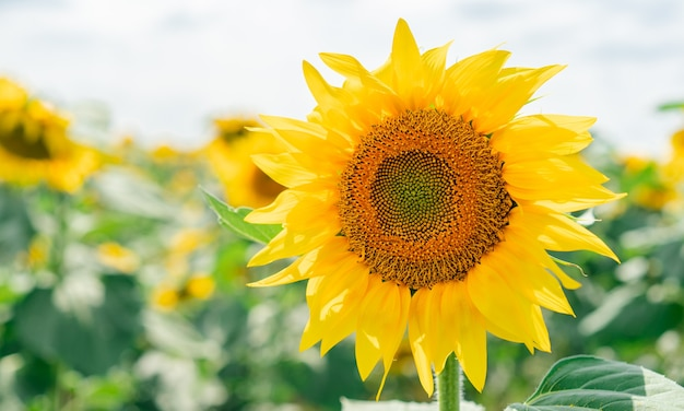 Blühende sonnenblumen auf dem feld
