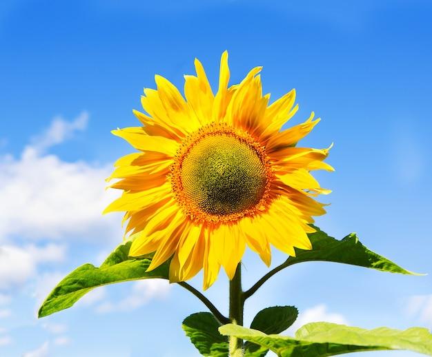 Blühende sonnenblumen auf einem blauen himmel der oberfläche