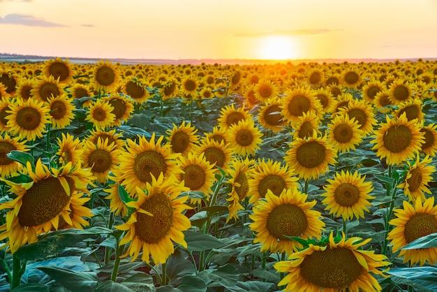 Blühende sonnenblumen auf einem feld