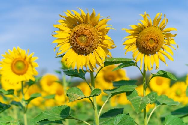 Blühende sonnenblumen auf natürlichem hintergrund, sonnenblumenfeld auf himmelhintergrund