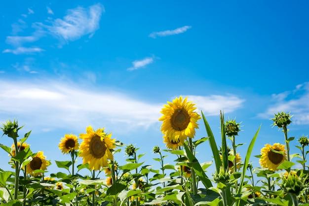 Blühende sonnenblumenblume auf dem bauernhoffeld. die reizvolle landschaft der sonnenblumen gegen den himmel.