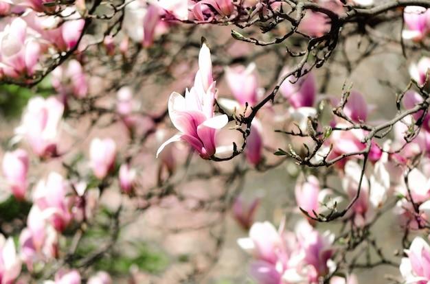 Blühende sonnenstrahlen des magnolienbaums im frühjahr.