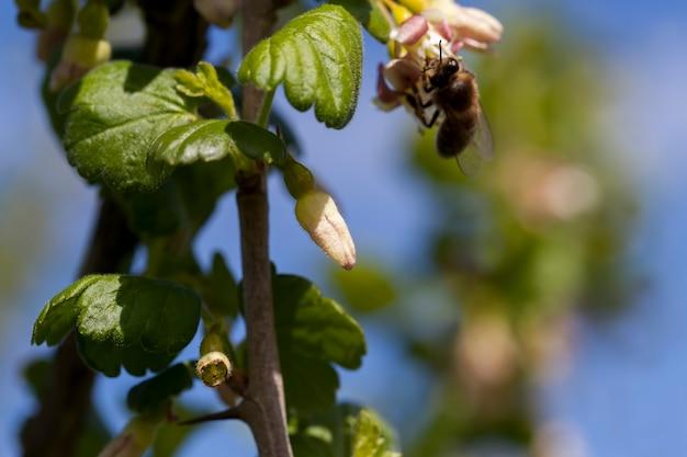 Blühende stachelbeeren im sommer, schöne ungewöhnliche blumen stachelbeersträucher im garten, bestäubt von einer biene