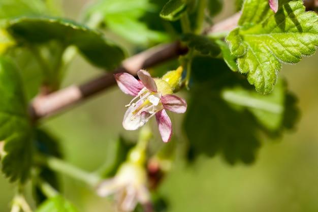 Blühende stachelbeeren im sommer, schöne ungewöhnliche blumen stachelbeersträucher im garten, obstgarten