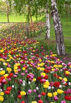 Blühende tulpen am ufer von nowosibirsk buntes blumenbeet umgeben von birken