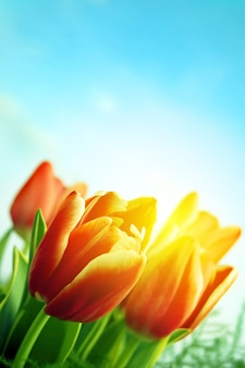Blühende tulpen im freien