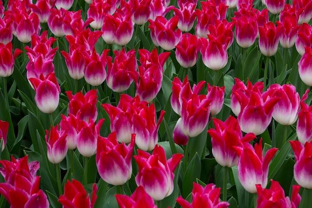 Blühende tulpen im keukenhof, dem weltgrößten blumengartenpark