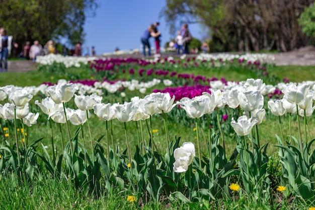Blühende tulpen im stadtpark.