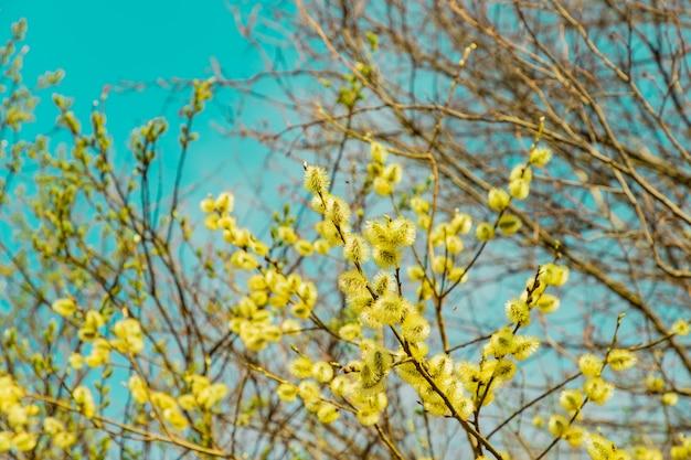 Blühende weidenbaumzweige mit gelben, flauschigen blütenknospenkätzchen auf hellblauem, sonnigem himmelshintergrund