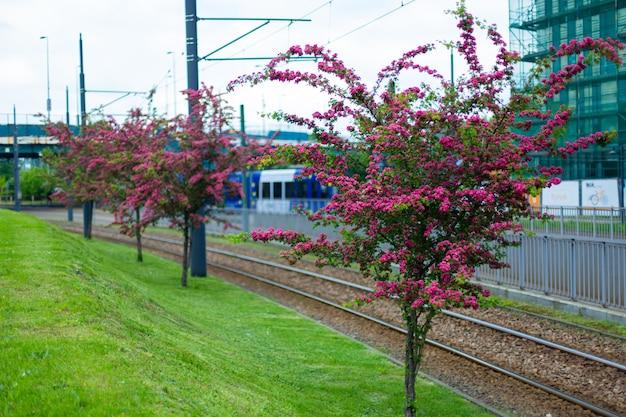 Blühende weißdornbäume in der stadt im sommer