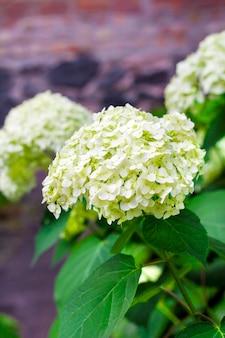 Blühende weiße annabelle hydrangea arborescens