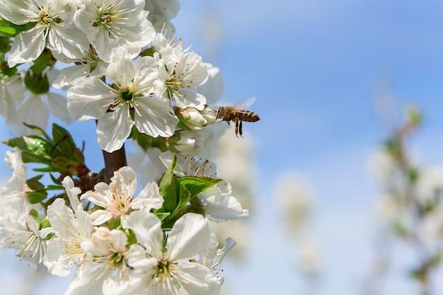 Blühende weiße blüten eines obstbaumes und einer biene im flug