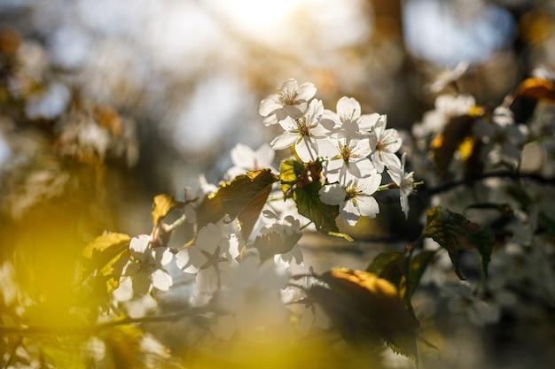 Blühende weiße blumen auf dem ast. frühlingshintergrund.