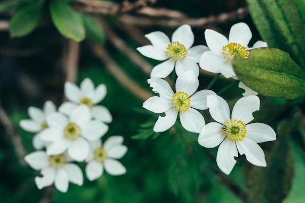 Blühende weiße blumen im wald