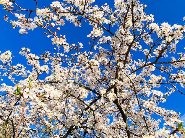 Blühende weiße blumenfruchtbäume auf hintergrund des blauen himmels.