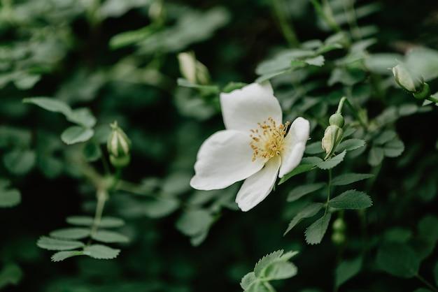 Blühende weiße hagebutte auf grünem laubhintergrund