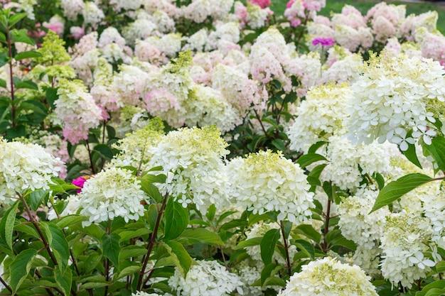 Blühende weiße hortensien hautnah. blumenhintergrund