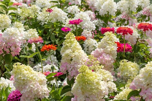 Blühende weiße hortensien und rote zinnien. blumenhintergrund