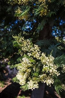 Blühende weiße mimose auf ast
