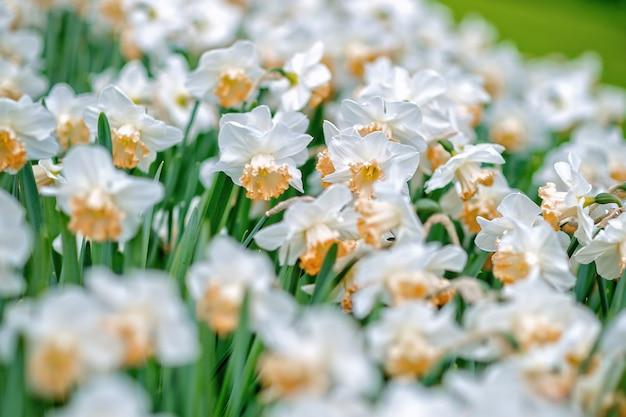 Blühende weiße narzissen (narzisse) in einem park.